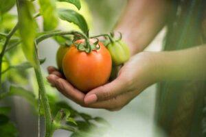 las cosechas son mejores en invernaderos