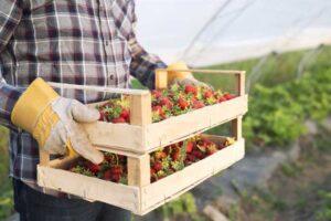 Cultivo de frutos rojos en invernadero