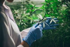hidroponía en cultivos de cannabis medicinal