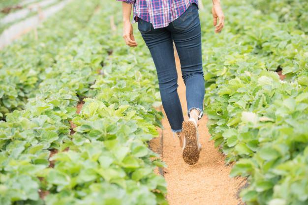 Cultivo hidropónico de fresas en invernadero
